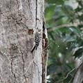 私の野鳥図鑑・160326コゲラの巣作り(3/3)・木屑の処分