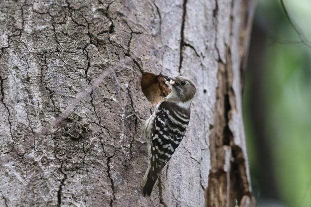 私の野鳥図鑑・160421・雛に餌を運ぶコゲラ