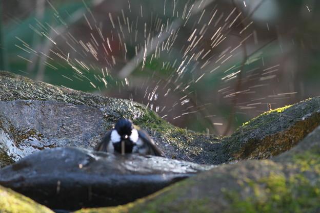 私の野鳥図鑑・101222シジュウカラの水浴び