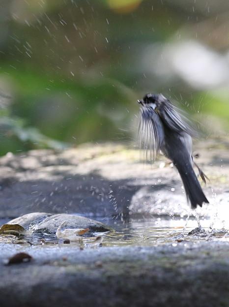 171117-4水浴びを終えたシジュウカラ