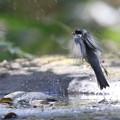 写真: 171117-4水浴びを終えたシジュウカラ
