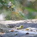 171117-6メジロの水浴び