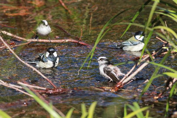 私の野鳥図鑑・110122シジュウカラとエナガ