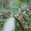 写真: 171120-8ルリビタキ若鳥