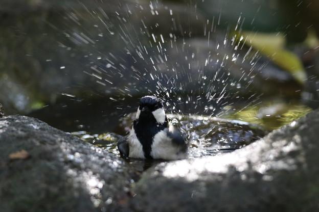 私の野鳥図鑑・141121シジュウカラの水浴び