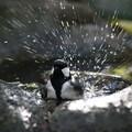 写真: 私の野鳥図鑑・141121シジュウカラの水浴び