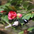 写真: 私の野鳥図鑑・170318ツバキの花から虫を見つけたシジュウカラ