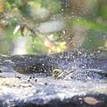 171129-37メジロの水浴び