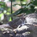 写真: 171205-16今度はシジュウカラの水浴びを覗くウグイス