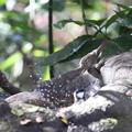 写真: 171205-17今度はシジュウカラの水浴びを覗くウグイス