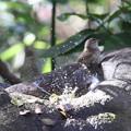 写真: 171205-26メジロの水浴びとウグイス