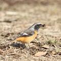 写真: 私の野鳥図鑑・120210虫を捕ったジョウビタキ