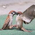 写真: 私の野鳥図鑑・110402-スズメの死闘(4/4)