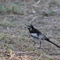 写真: 私の野鳥図鑑・100805セグロセキレイ