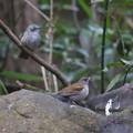 180117-1シロハラ♂(右)とヒヨドリ