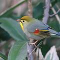 写真: 私の野鳥図鑑(蔵出し)・110104ソウシチョウ