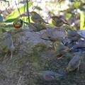 私の野鳥図鑑(蔵出し)・110106ソウシチョウ