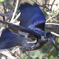 写真: 100101初鳥(初撮り)カラス