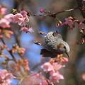 写真: 100228ヒヨドリと河津桜3