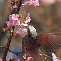 写真: 100228ヒヨドリと河津桜6
