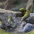 Photos: 110411-4メジロの入浴