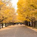 昭和記念公園 いちょう並木2
