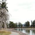 毛越寺 枝垂れ桜