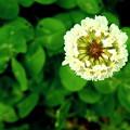 写真: 春の笑顔・クローバー。