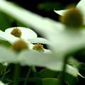 写真: 蝶のように・ヤマボウシ。