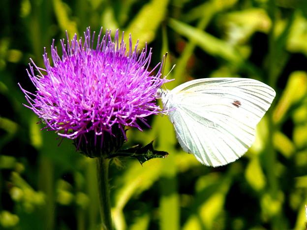 燃えるキッス・アザミと蝶