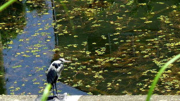 池の番人・青サギ