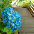 写真: 階段道の微笑み。(一輪の紫陽花)