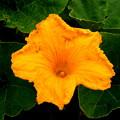 写真: カボチャの花はカボチャ色。。