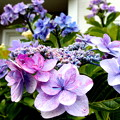 写真: 雨が降って紫陽花が元気に・・。