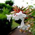 写真: アベリアの花。