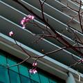 写真: ペナン桜の狂い咲き・1
