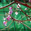 写真: ペナン桜の狂い咲き・2