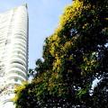 街角・街路樹のイエローフレームの花が咲いた。1