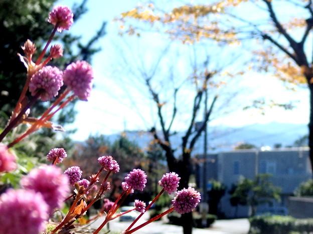小春日和の散歩道・ポリゴナムの花