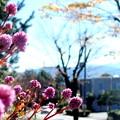 写真: 小春日和の散歩道・ポリゴナムの花