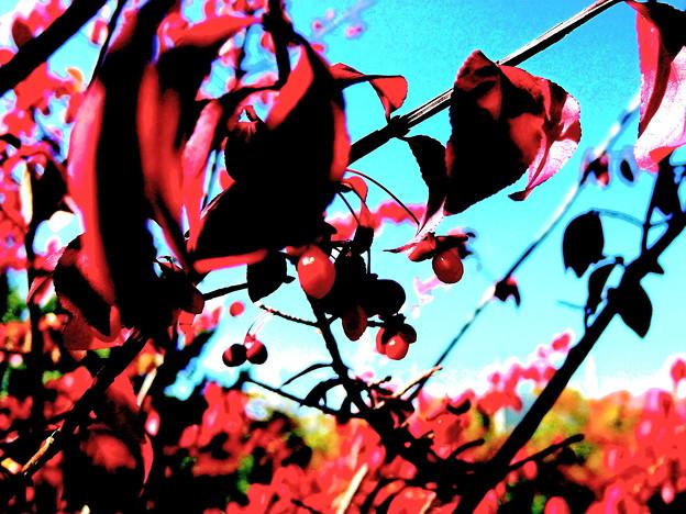 写真: コマユミの紅葉と実