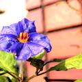 写真: ナスの花