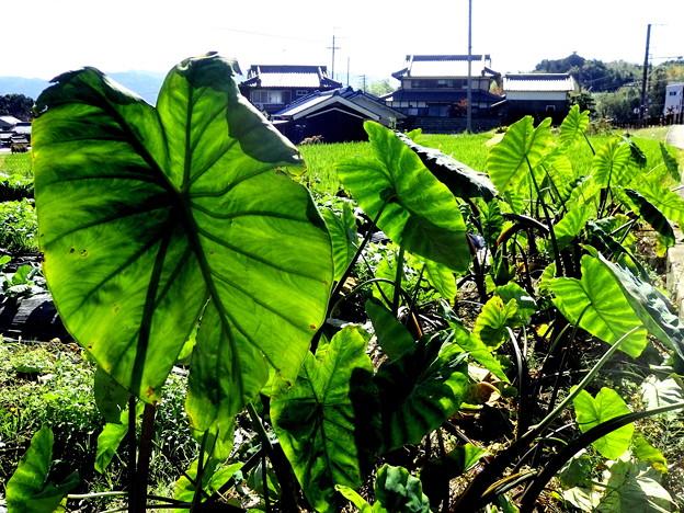 写真: タロイモ畑