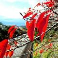 写真: 散歩道の桜が・・。