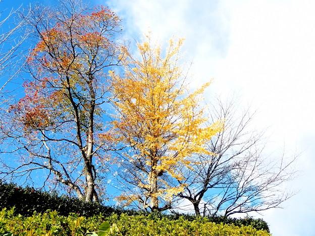 近隣公園の黄葉