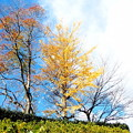 写真: 近隣公園の黄葉