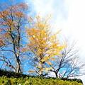 Photos: 近隣公園の黄葉