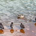 写真: 初泳ぎ、元旦のコガモ
