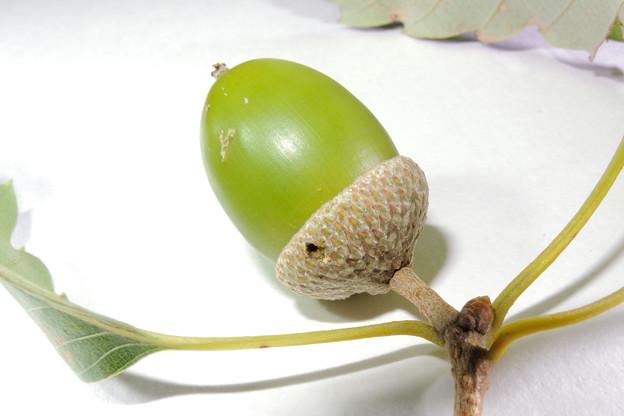ハイイロチョッキリ(産卵マーク)_17828b