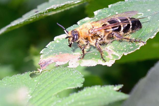 オオハラナガツチバチ(♀)_17924a